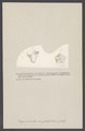 Eugeniocrinites caryophyllatus - - Print - Iconographia Zoologica - Special Collections University of Amsterdam - UBAINV0274 007 02 0073.tif