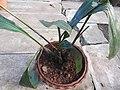 Eulophia pulchra-2-bsi-yercaud-salem-India.jpg