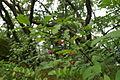 Euonymus latifolia PID1162-1.jpg