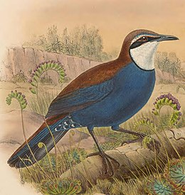 Eupetes castanonotus - The Birds of New Guinea (cropped).jpg