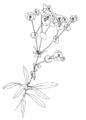 Euphorbia amygdaloides ellywa.png