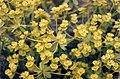Euphorbia seguieriana 2.jpg