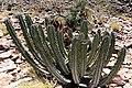 Euphorbia virosa- Gifboom - poison tree-2166 - Flickr - Ragnhild & Neil Crawford.jpg