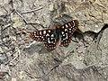 Euphydryas chalcedona 16862.JPG