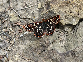 Variable checkerspot species of insect