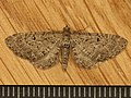 Eupithecia sp. (8956210491).jpg