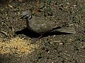 Eurasian Collared Dove With Corn Kernel.jpg