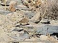 Eurasian Skylark (Alauda arvensis) (31087226038).jpg