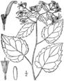 Eurybia divaricata BB-1913-2.png