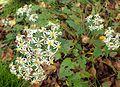 Eurybia divaricata kz4.jpg