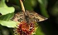 Euthalia aconthea in a Rambutan tree @ Kanjirappally 02.jpg