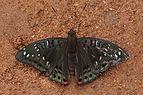 Euthalia lubentina 04627().JPG