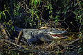 Everglades31(js)-American alligator.jpg