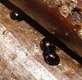 Exochomus 4-pustulatus. Pine Ladybirds. - Flickr - gailhampshire.jpg