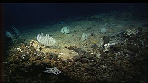 Atlantis Massif - The seafloor of the Atlantis Massif, showing white corals and an apparent spotted fish.