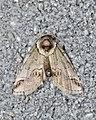 Eyed Baileya Moth (Baileya ophthalmica) - Guelph, Ontario 2016-08-01.jpg