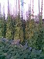 Fabales - Phaseolus vulgaris, Brassica oleracea convar. capitata povar. capitata Gloria F1 and Solanum tuberosum - 2011.07.11.jpg