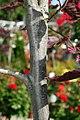 Fagus sylvatica Roseomarginata 3zz.jpg