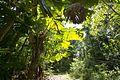 Fan palms at Wyvuri3 (11560281846).jpg