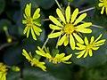 Farfugium japonicum.jpg