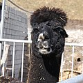 Faschina-Alpaka (Vicugna pacos)-03ASD.jpg