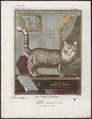 Felis catus var. angorensis - 1700-1880 - Print - Iconographia Zoologica - Special Collections University of Amsterdam - UBA01 IZ22100125.tif
