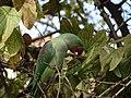 Female Alexandrine Parakeet Eating Kachnar Tree Fruits 02.jpg