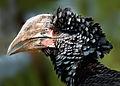 Female Hornbill - Flickr - Andrea Westmoreland.jpg