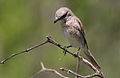 Female red-backed shrike, Lanius collurio at Marakele National Park, Limpopo, South Africa (16133536547).jpg