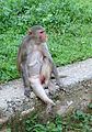 Female rhesus macaque at Galtaji, Jaipur, Rajasthan, India.jpg