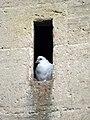 Feral pigeon, St Bartholomew's Church - geograph.org.uk - 2018269.jpg