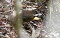 Fernwren (Oreoscopus gutturalis) (31401122575).jpg