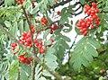Ffrwyth y Griafolen - Rowan Berries - geograph.org.uk - 229085.jpg