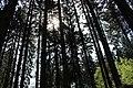 Fichten Monokultur im Sauwald, Naturschutzzentrum Dörfel, Erzgebirge.jpg