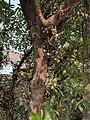 Ficus Sp 20.jpg