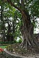 Ficus benghalensis and Ficus religiosa - Zafar Khan Ghazi Masjid and Dargah Site - Tribeni - Hooghly - 2013-05-19 7669.JPG