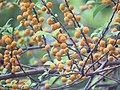 Ficus exasperata - Brahma's Banyan fruits at Peravoor 2018 (4).jpg