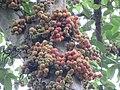 Ficus racemosa fruits at Peravoor (2).jpg