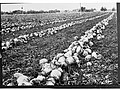 Field of Turnips(GN04715).jpg