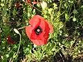 Field poppy - Papaver rhoeas - panoramio (6).jpg