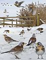 Fieldfare from the Crossley ID Guide Britain and Ireland.jpg