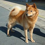A Salish Wool Dog in a 19thcentury painting of Coast Salish weaving Origin Washington State and British Columbia Breed status ExtinctNot recognized as a standardized breed by any major kennel club Domestic dog Canis lupus familiaris
