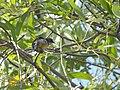 Fire-breasted Flowerpecker - Dicaeum ignipectus - DSC00117.jpg