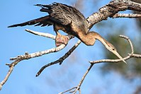 Fishing African darter in Gambia.jpg