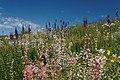 Flattops Flowers (6154239373).jpg