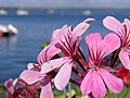 Fleur (Geraniales) (1).jpg