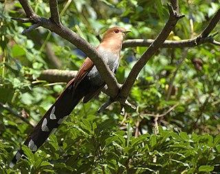 Squirrel cuckoo species of bird