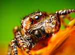 Flickr - Lukjonis - Jumping spider - Sitticus floricola (two pictures).jpg