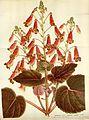 Flore des serres v16 057a.jpg