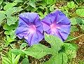 Flores de Guaramiranga CE - Purple.jpg